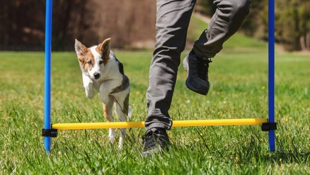 Dog Agility Is A Really Interesting Sport For Your Dogs